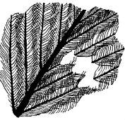 пухопероед перо